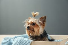 Yorkshire terrier in wooden crate against grey wall, space for text. stock images