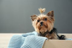 Yorkshire terrier in wooden crate against grey wall, space for text. Happy dog royalty free stock images