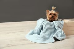 Yorkshire terrier in wooden crate on floor against grey wall, space for text. Happy dog royalty free stock photos