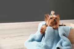 Yorkshire terrier in wooden crate on floor against grey wall, space for text. Happy dog royalty free stock photography