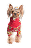 Yorkshire terrier in wrapping paper and jacket Royalty Free Stock Photography