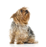 Yorkshire Terrier (2 years old) Royalty Free Stock Photos