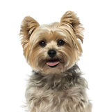 Yorkshire Terrier (4 years old) Royalty Free Stock Image