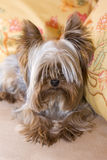 Yorkshire terrier on yellow pilows Royalty Free Stock Image