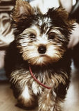 Yorkshire-Terrier (York) Stockfoto