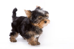 Yorkshire Terrier (York) puppy. Standing on a white background Royalty Free Stock Images