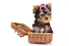 Yorkshire Terrier (York) puppy. Sitting in box on a white background Stock Photo