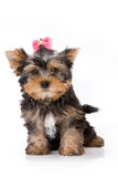 Yorkshire Terrier (York) puppy. Sitting on a white background Royalty Free Stock Photography