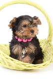 Yorkshire Terrier (York) puppy. Sitting in basket on a white background royalty free stock photos