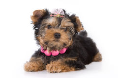 Yorkshire Terrier (York) puppy. Laying on a white background stock image