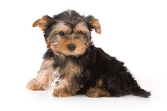 Yorkshire Terrier (York) puppy. Sitting on a white background Royalty Free Stock Photos