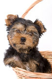 Yorkshire Terrier (York) puppy. Sitting in basket Royalty Free Stock Image