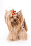 Yorkshire Terrier (Yorkie). Puppy on a white background stock photography