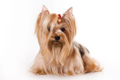 Yorkshire Terrier (Yorkie). Puppy on a white background Royalty Free Stock Photography