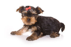Yorkshire Terrier (Yorkie). Puppy on a white background Royalty Free Stock Image