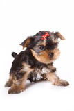Yorkshire Terrier (Yorkie). Puppy on a white background stock photo
