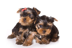 Yorkshire Terrier (Yorkie). Puppy on a white background Royalty Free Stock Photos