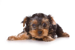 Yorkshire Terrier (Yorkie). Puppy on a white background Royalty Free Stock Images