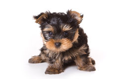 Yorkshire Terrier (Yorkie) Royalty Free Stock Images
