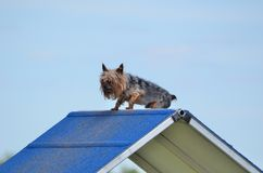 Yorkshire Terrier (Yorkie) at a Dog Agility Trial Stock Photography
