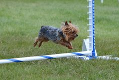 Yorkshire Terrier (Yorkie) at Dog Agility Trial Stock Photography