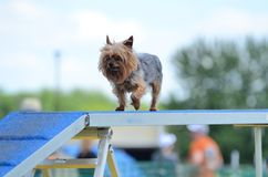 Yorkshire Terrier (Yorkie) at a Dog Agility Trial Stock Image