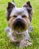 Yorkshire Terrier Yorkshire terrier som spelar i parkera på Fotografering för Bildbyråer