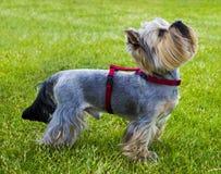 Yorkshire Terrier Yorkshire terrier som spelar i parkera på gräset Royaltyfria Bilder