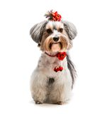 Yorkshire Terrier. Young lovely male of the Yorkshire Terrier isolated on white Stock Photos