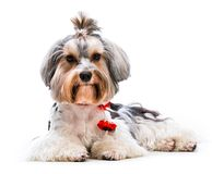 Yorkshire Terrier. Young lovely male of the Yorkshire Terrier isolated on white background Stock Images