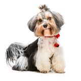 Yorkshire Terrier. Young lovely male of the Yorkshire Terrier isolated on white background Stock Photos