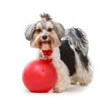 Yorkshire Terrier. Young lovely male of the Yorkshire Terrier isolated on white background Royalty Free Stock Photography