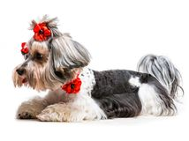 Yorkshire Terrier. Young lovely male of the Yorkshire Terrier isolated on white background Royalty Free Stock Photos