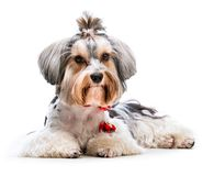 Yorkshire Terrier. Young lovely male of the Yorkshire Terrier isolated on white background Royalty Free Stock Image