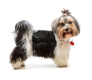 Yorkshire Terrier. Young lovely male of the Yorkshire Terrier isolated on white background Stock Image