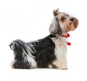Yorkshire Terrier. Young lovely male of the Yorkshire Terrier isolated on white background Stock Photo
