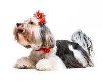 Yorkshire Terrier. Young lovely male of the Yorkshire Terrier on white Stock Photography
