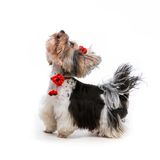 Yorkshire Terrier. Young male of the Yorkshire Terrier on white background Royalty Free Stock Images