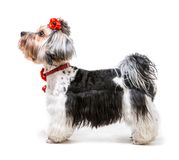 Yorkshire Terrier. Young male of the Yorkshire Terrier on white background Stock Images