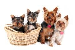 Yorkshire-Terrierfamilie Lizenzfreies Stockbild