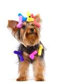 Yorkshire-Terrierhund Lizenzfreies Stockfoto