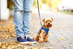 Yorkshire-Terrierhund, der nahe Trainer stationiert Lizenzfreies Stockfoto