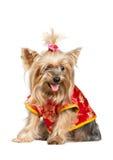 Yorkshire-Terrierhund in der roten chinesischen Kleidung Stockbilder