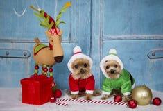 Yorkshire-Terrierhunde, die Sankt-Ausstattung tragen lizenzfreie stockbilder