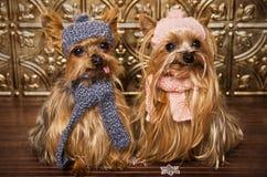 Yorkshire-Terrierhunde kleideten oben für Winter an Stockfoto