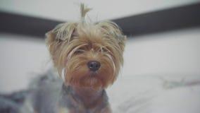 Yorkshire-Terrierhundehaustier, das zuhause auf dem Bett sitzt rauhaariges kleines nettes Hundemädchen rauhaariger Hundelebenssti stock video footage