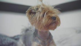 Yorkshire-Terrierhundehaustier, das zuhause auf dem Bett sitzt rauhaariges kleines nettes Hundemädchen rauhaariger Hundekonzeptle stock video footage