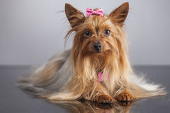 Yorkshire-Terrierporträt mit relfection Lizenzfreie Stockfotografie