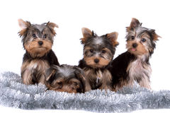 Yorkshire terriers Royalty Free Stock Photo