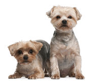Yorkshire Terriers, 18 months old, sitting Royalty Free Stock Images